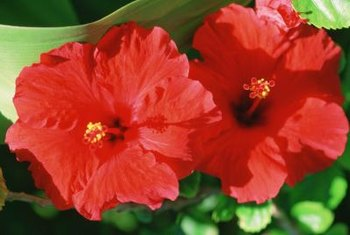 """Cranberry Crush"" hibiscus produce overlapping flower petals."