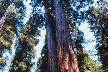 Practice your bonsai skills on other trees before attempting to train a redwood bonsai.