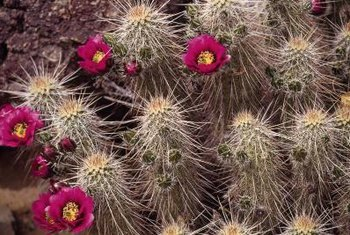 Hedgehog cactus forms clumps of prickly stems.
