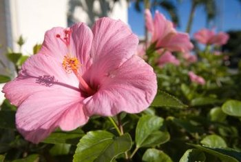 Hibiscus plants display large, dramatic flowers that resemble flaring trumpets.