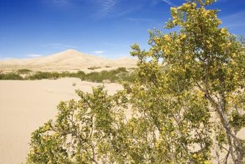 A desert native, creosote bush needs little water once established.