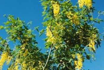 Golden chain tree is a relative of the annual garden pea (Pisum sativum).
