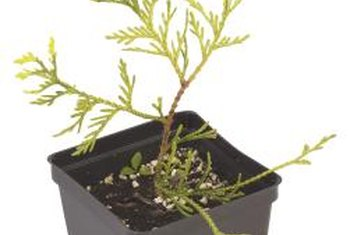 Young arborvitaes can be grown to provide privacy and wind protection.