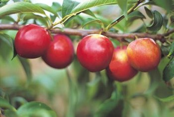 Training apples into an espalier lets you grow them in small yards.
