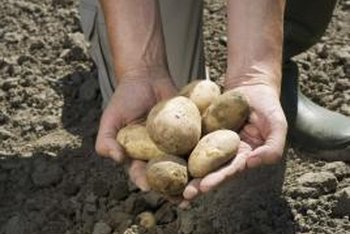 Sprouted grocery store potatoes can become a large crop of spuds.