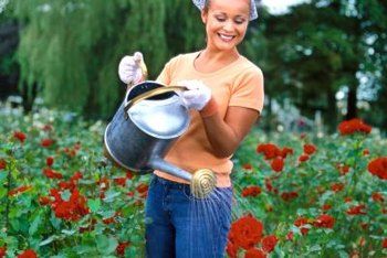 Keeping rose bushes healthy and vigorous helps them survive pest attacks.