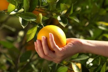Oranges grow and ripen well even if shaded by tree leaves.