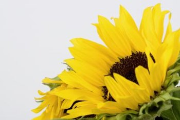 Sunflowers thrive in full-sunlight exposure.