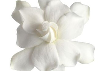 Gardenia plants are most notable for their fragrant white blossoms.
