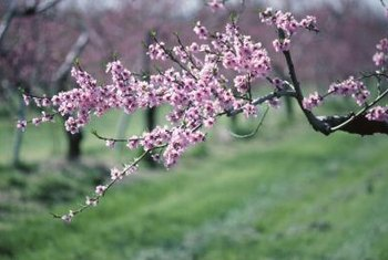 Peach trees bloom in early spring when frost is still likely.