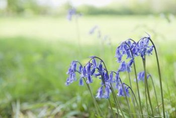 Wood hyacinths often masquerade as other kinds of bluebells.