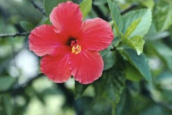 Brilliant hibiscus blooms work well with both contrasting and complementary colored companion flowers.