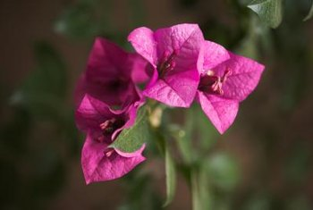 Don't expect to see bougainvillea's colorful bracts indoors.