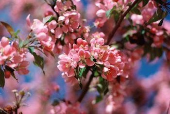 """Yoshino"" is one of many varieties of Japanese flowering cherry trees."