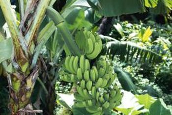A banana plant produces a single flower followed by fruit.