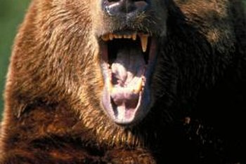 Bears are prized trophies for many hunters.