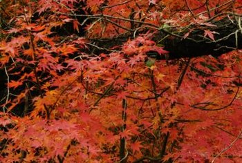 Red Japanese maples provide a striking background in the fall.