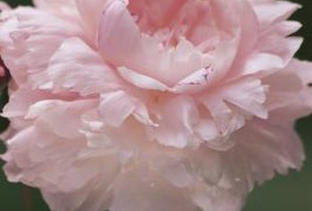 Proper soil moisture helps grow large peony flowers.