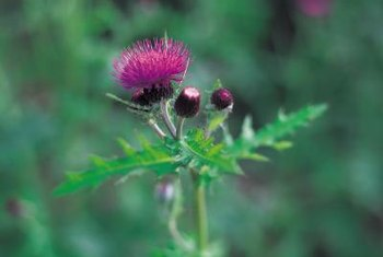 One variety of thistle, milk thistle, is native to the Mediterranean.