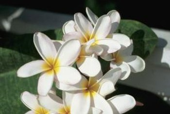 Plumeria are attractive plants that are easy to care for.