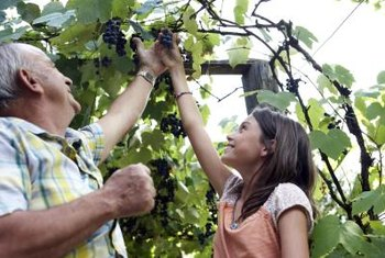 Keep your grapevine healthy by giving it growing support.