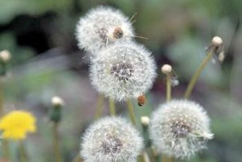 Dandelions' growth cycle makes removing these perennial weeds a challenge.