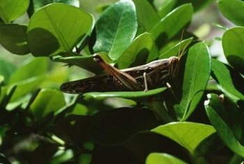 Grasshoppers' high mobility make them difficult to control.