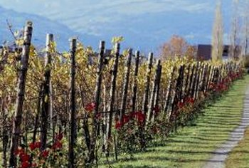Revive old grapevines by pruning them during the dormant season.