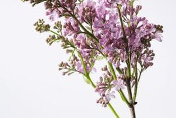 Lilacs add fragrance to the patio or deck.