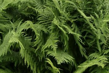 Fern leaves, called fronds, are typically divided into many lobes.