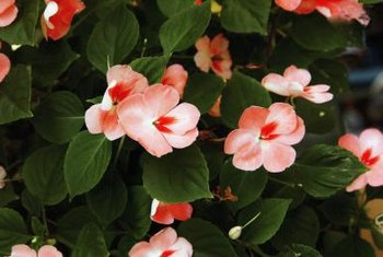 Healthy impatiens plants possess emerald-green foliage.