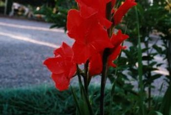 Use PVC pipes as stakes to hold gladiolus spikes upright.