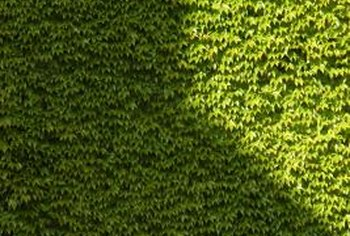 With the right fertilization strategy, your privet hedge can grow green and dense.