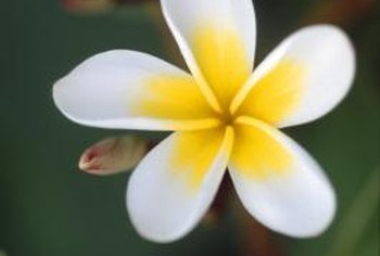 Plumeria plants grown from cuttings can bloom their first year.