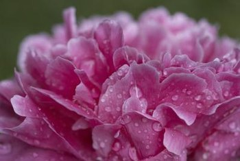 Peonies live a long time and are considered permanent garden plants.