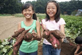 A healthy sweet potato crop means holding back water and fertilizer.