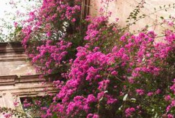 Bougainvilleas climb readily.