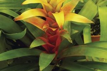 Bromeliads provide brilliant colors wherever they are placed.
