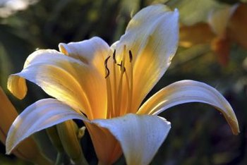 Through cross-breeding, a white lily flower can have a yellow throat.