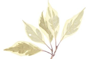 The Silver and Gold variety of yellow twig dogwood has variegated leaves.