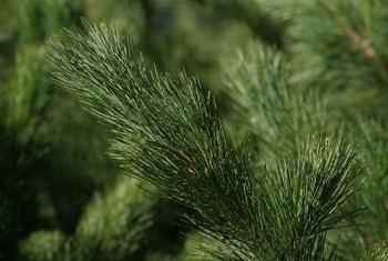 Eastern white pine's characteristic needle growth reflects its Pinaceae family membership.