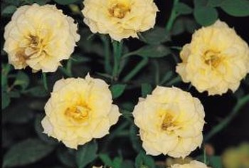 Miniature roses require the same care as their full-sized counterparts.