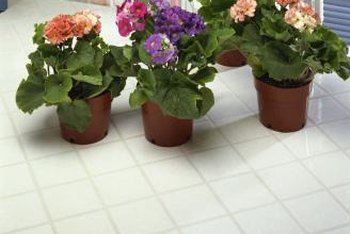 African violets need consistent watering even while in bloom.