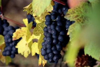 Grapes thrive in warm Mediterranean climates around the world.