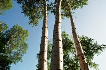 Trees in the poplar category are favored for woodworking.