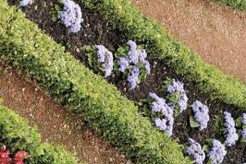 Boxwood bushes provide shape and wind cover for gardens.
