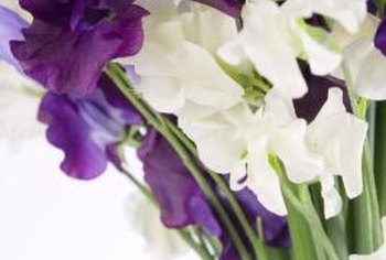 Sweet pea cultivars feature a variety of colors and forms.