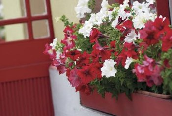 A window box filled with sun-loving red and white petunias.