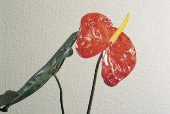Anthurium leaves can lose their shine and die when humidity is too low.