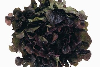 Red lettuce has four main growth stages and can be harvested anytime from the seedling stage on.